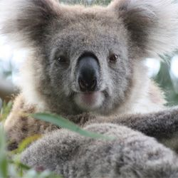 Take Action: Save Koalas from Possible Extinction! Koalas in Australia suffer from a severe chlamydia epidemic.