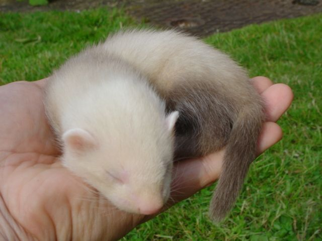 Cute Baby Ferrets Pinterest Sleeping Babies