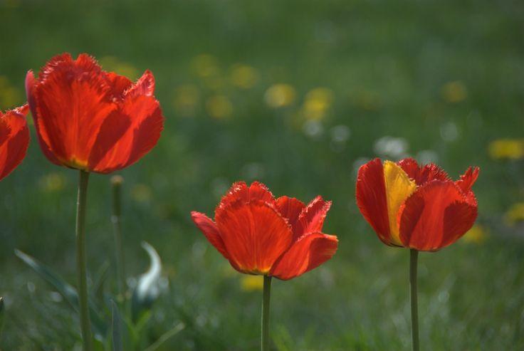 Tulipany w Powsinie, niedaleko Warszawy. Rok 2015.