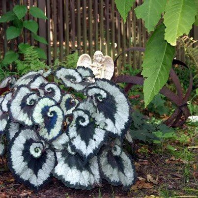 Escargot Begonia -Beautiful plant to put in your garden for the summer and then bring it inside for the winter.  Hardy to zone 10 and up.