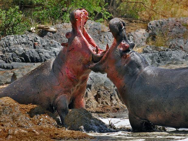 Impresionantes imágenes de animales cazando en vida salvaje - Terra México