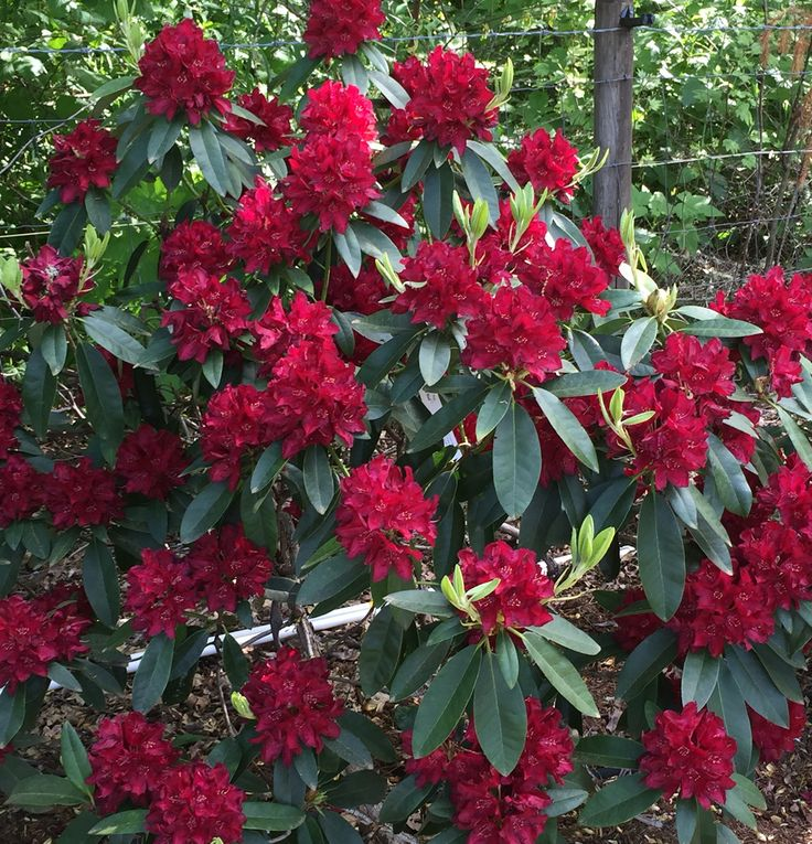 Henry's Red ~ Rhododendron ~ Rainier Rhododendrons