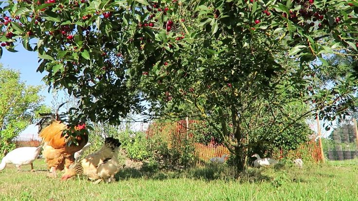 Brahma Hahn und sein Huhn