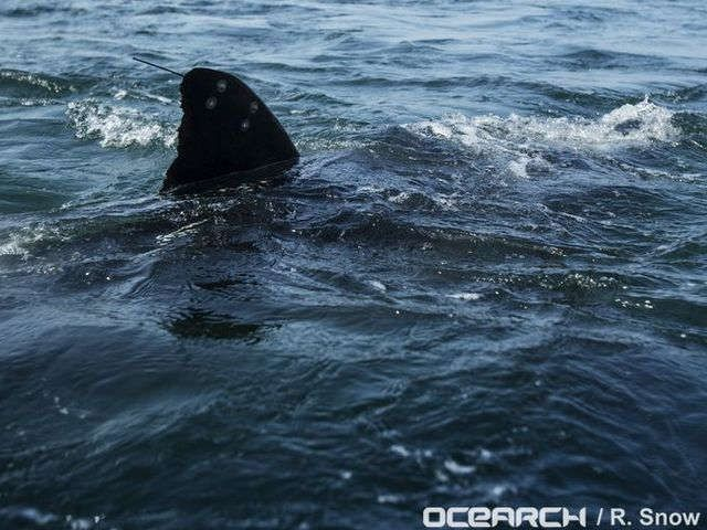 Katharine the great white shark tops 10,000 miles