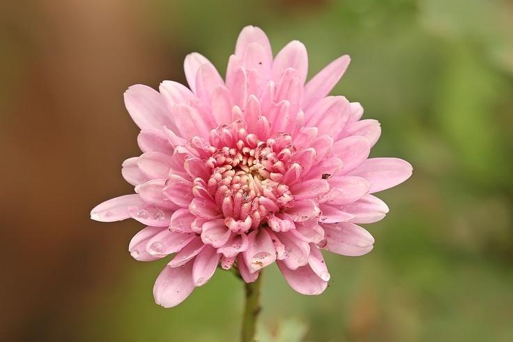 Crisântemo - Imagens de Flores  http://www.imagensdeflores.com/crisantemo/