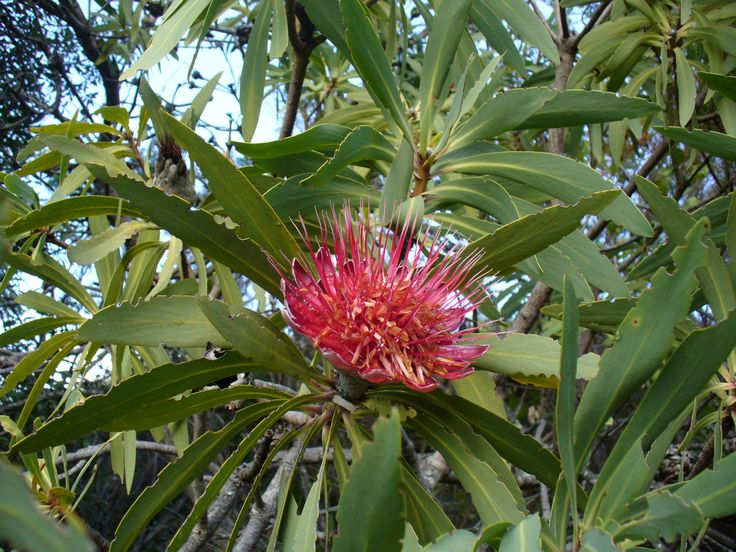 An endemic Blyde River Protea. If you think you know the location where John Boyd is, click on the photo to enter. #FindingBoyd #BigClue