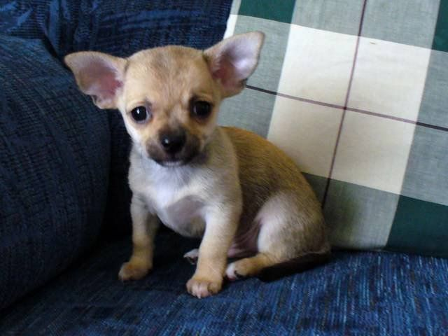 Chihuahua Puppies For Sale Adoption From Shelbyville Tennessee