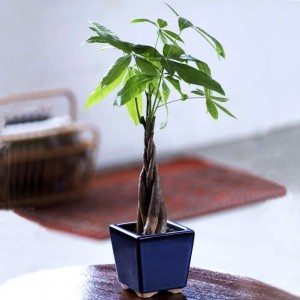 Braided Money Tree As Perfect Office Gift