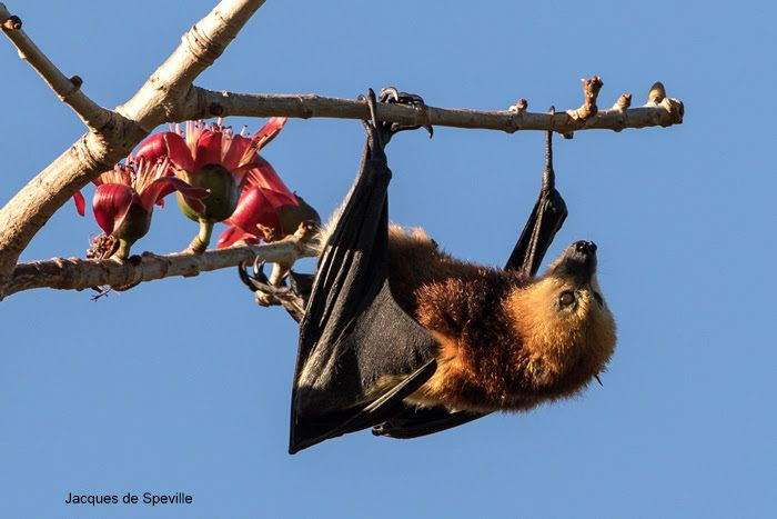 Mauritian Megabat Flying-foxes Fruit bat Mauritius http://www.batsrule.info/2017/01/mauritian-megabat-flying-foxes-fruit.html http://www.mauritian-wildlife.org/application/index.php?tpid=30&tcid=81