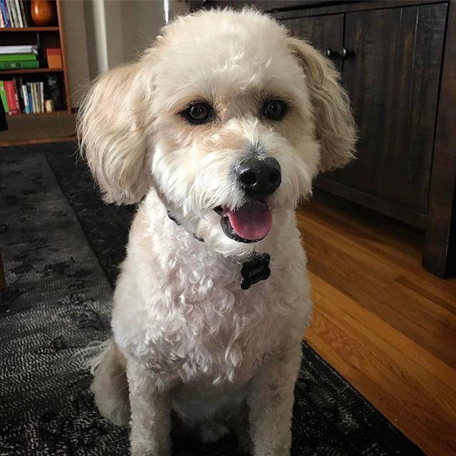 Marley kept looking at something behind my shoulder. Can he see my guardian angel or something?? 👻 . マーリーがやたらと肩越しをチラチラ見つめるのが、不気味で。まさか守護霊でも見えてるのかな😔 . . #pets #pet #dogs #lovemydog #dogoftheday #dog #petstagram #WeeklyFluff #wheatenterrier #nobu #whoodle #wheaten #ふわもこ部 #ミックス犬 #犬バカ部 #犬 #愛犬 #dogsofinstagram #softcoatedwheaten #softcoatedwheatenterrier #poodlemix #muttsofinstagram #barkpost #poodle #nobu #ghost #love
