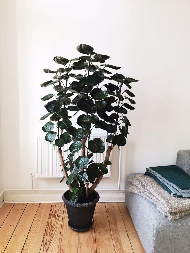 Polyscias Aralia Fabian plant