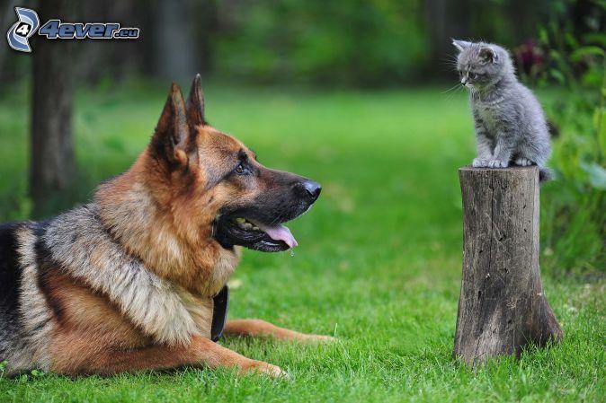 Hund und Katze, Schäferhund, Graues Kätzchen, Stumpf                                                                                                                                                      Mehr
