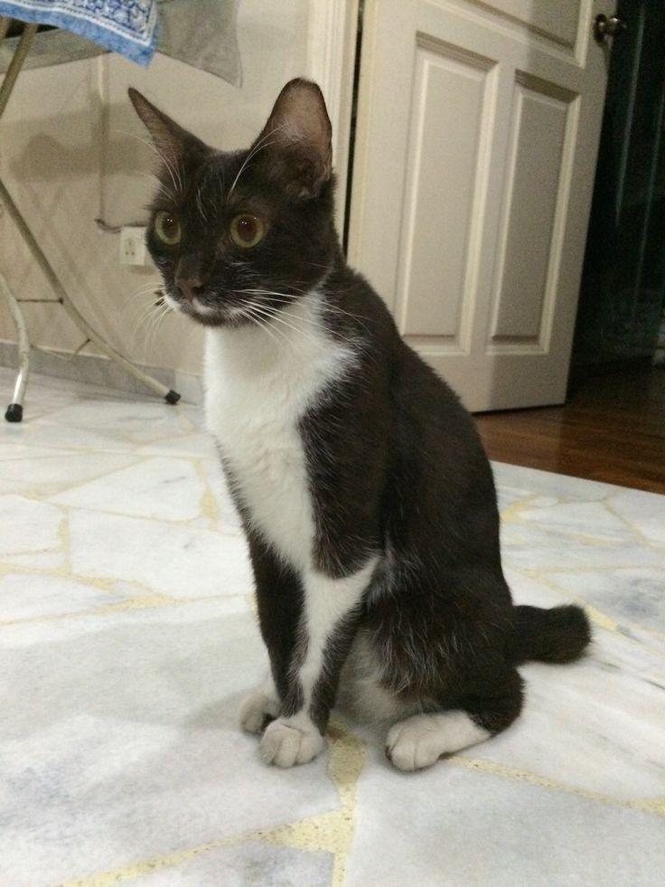 Name of pet Brownie Breed Cat Color Brown and White