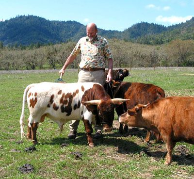 miniature cows -
