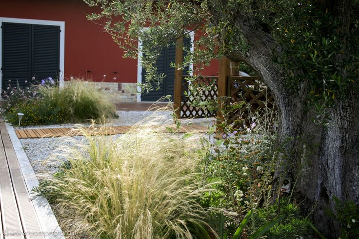 One of my gravel garden, beside of wooden deck of a swimming pool. Stipa Tenuissima, Gaura Lindheimerii and Achillea under a ancient Olive Tree.