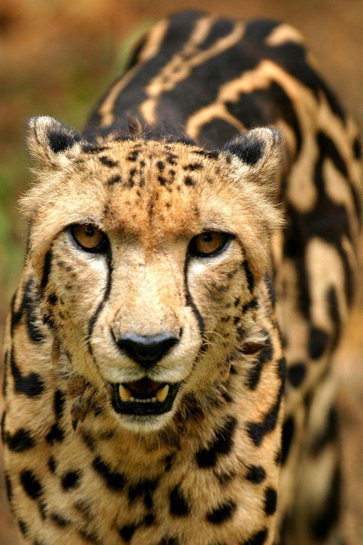 Cheetah Animals, Cute animals, Wild cats