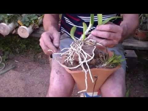 Como plantar orquídeas na madeira - YouTube