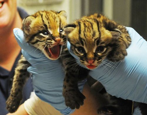North Carolina Zoo Welcomes Healthy Ocelot Twins. RAWR!!! just love their expressions.
