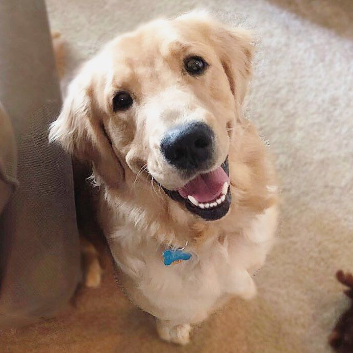 Tucker The Golden Retriever On Instagram Hi My Name Is Tucker