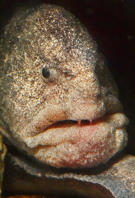 Wolf eel --  Not just another pretty face by Stinkersmell, via Flickr