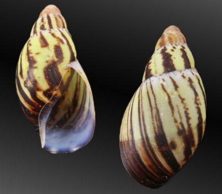 Archachatina marginata egregiella - malacology-asia.com