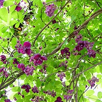 Akebia quinata 'Silver Bells' Chocolate Vine. Beautiful green vine with cream to red blossoms and blue-colored berries. Sun or shade. Disease resistant and drought tolerant, this vine requires little maintenance. Berries attract birds.