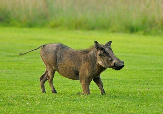Pig golfing? @ Zebula, South Africa.