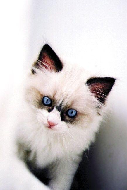 A white kitten with dark fur around its bright, blue eyes.