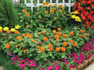 Zinnias: Cuidados, Cultivo y mantenimiento | Verde Jardín