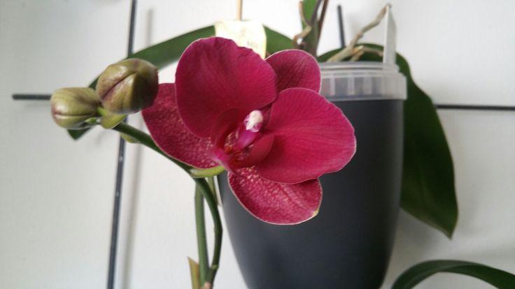 Quarta fioritura in 3 anni