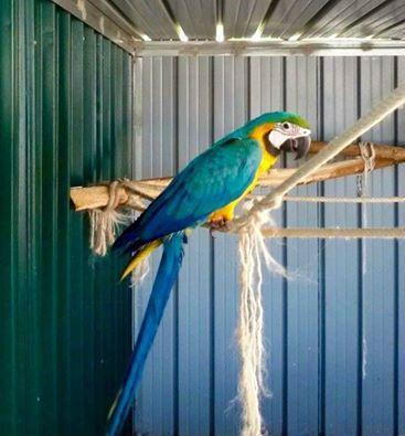 Disponibile pappagallo Ara di un anno, maschio sessato, molto docile e ottimo pet. Il piccolo oltre ad essere un bellissimo soggetto è stato alimentato con la migliore marca in commercio di ...