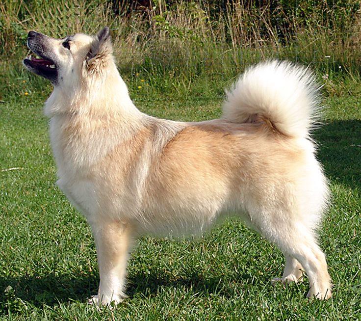 Icelandic Sheepdog Westminster 1000+ images about Dog...
