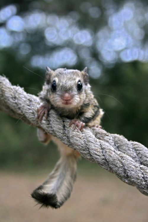 Flying Squirrel | Squee | Pinterest