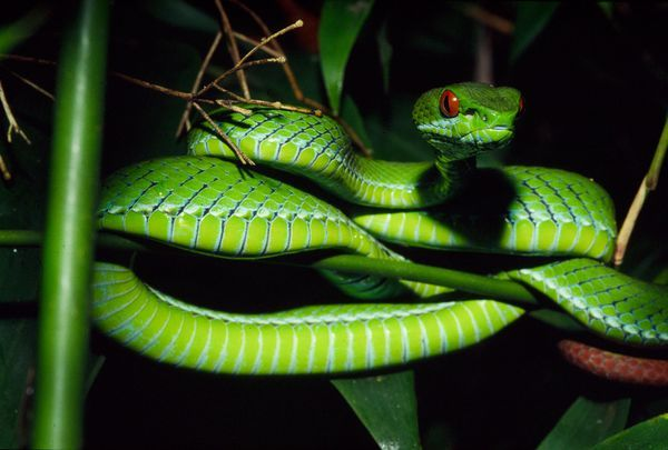 Rare Jewel?  Photograph by Peter Paul van Dijk  A ruby-eyed green pit viper raises its head in southern Vietnam's Cat Tien National Park in May 2000.