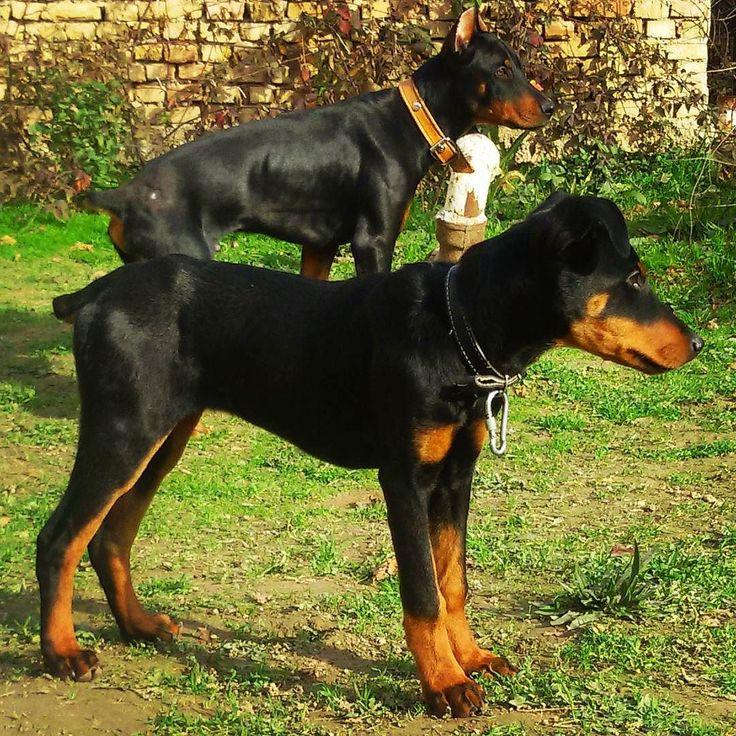 Guys #dobermans #Tarzan &  #LadyMiMi outdoor on the playground .   #doberman #dogs #dogsofinstagram #dobermanpride #dobylove #puppy #pets #alldoberman Ребята #доберманы #Тарзан и #ЛедиМиМи на игровой площадке.  #шенок #собака #собаки #доберман #домашниепитомцы #доберманчик