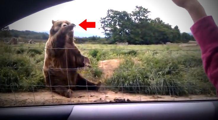 Leesett az állam, hogy ilyen állat tudhat! A pár megállt, hogy integessen egy mackónak, de ahogy ő reagált, arra biztos nem számítottak!