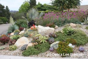 Boulders in dry garden with dasylirions and aloes in bloom, design by Jeff More