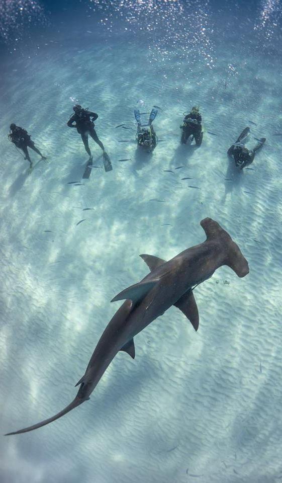 Neal Watson's Bimini Scuba Center Great Hammerhead Safari, Bimini Big Game Club, Bahamas http://www.deepbluediving.org/scuba-dive-computer/ http://www.deepbluediving.org/scuba-diving-gear-list-the-complete-guide/