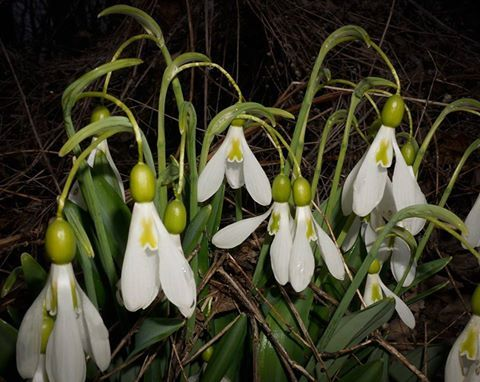 Galanthus ALPHA FOUNTAIN