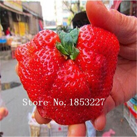 100 giant strawberry seeds send rose seeds as gift bonsai strawberry seeds edible four seasons large type #clothing,#shoes,#jewelry,#women,#men,#hats,#watches,#belts,#fashion,#style