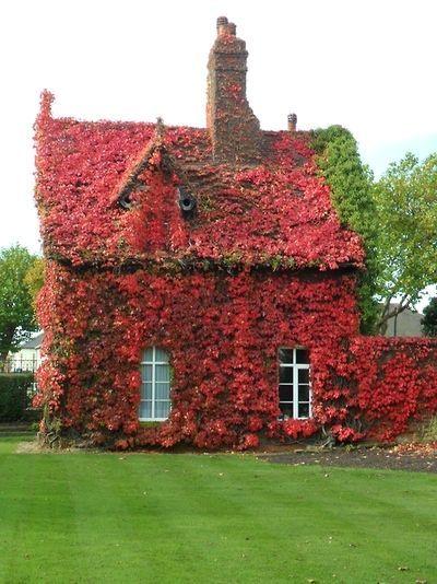 Boston Ivy overgrown cottage, in Autumn red. Dartmouth Park, Sandwell, England  Original Photography by vwcampervan-aldridge