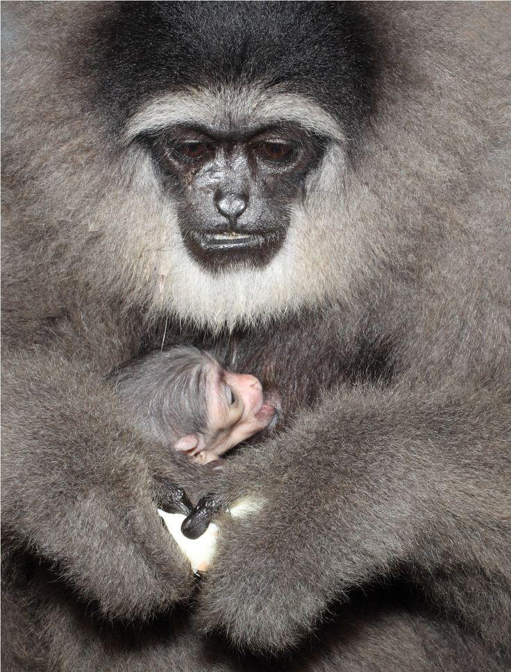 Silvery Gibbon   Owa Jawa