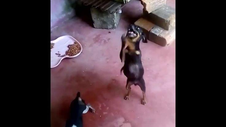 Mira lo rapido que agita sus patitas esta perrita Pincher Nikita