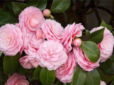 Monrovia plant collections camellia s drought tolerant plants