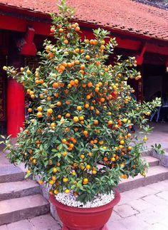 Culture de l'abricotier en pot