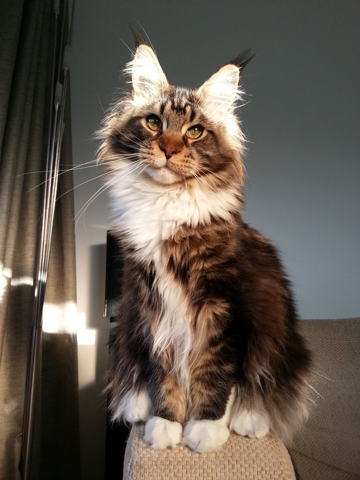Mysticclan Sign - Ups  43f108b1fb1a788ec63c086458da4234--maine-coon-cats-beautiful-cats