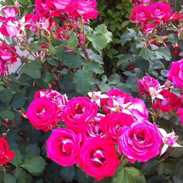 Grandma's rose-garden
