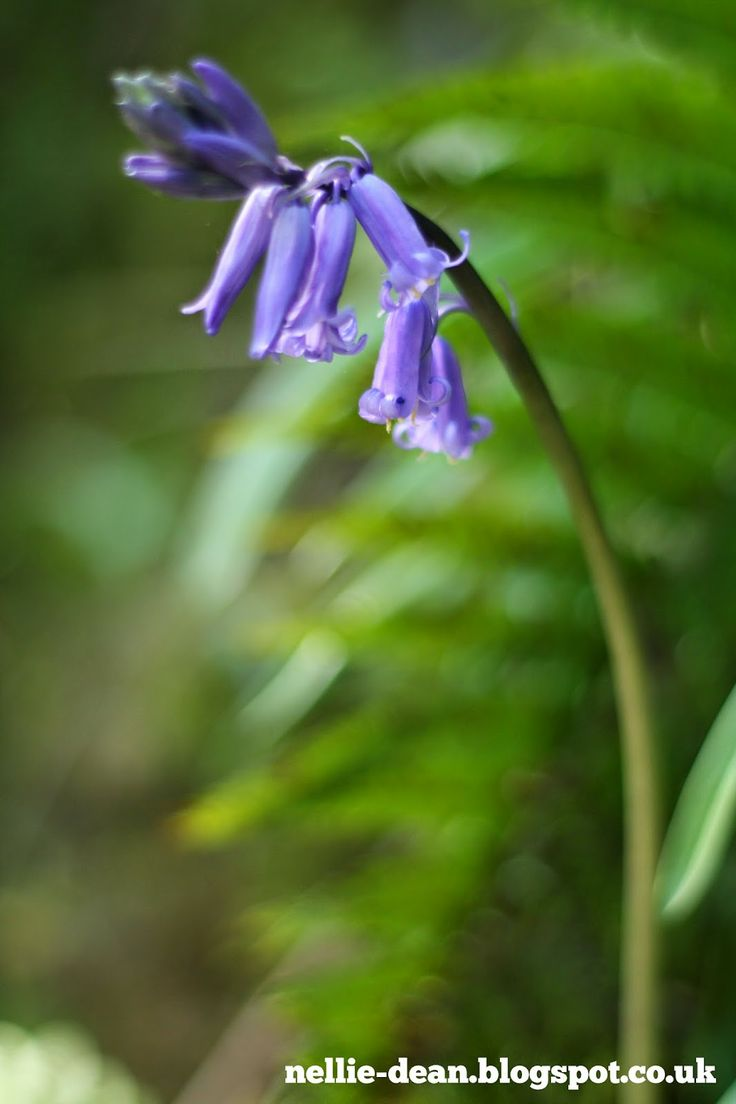 Bluebells in the woodland at National Trust Stackpole Estate, Pembrokeshire