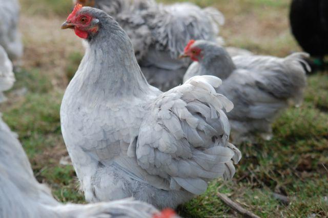 vente de poule loire atlantique 44 achat poule ornement pondeuse