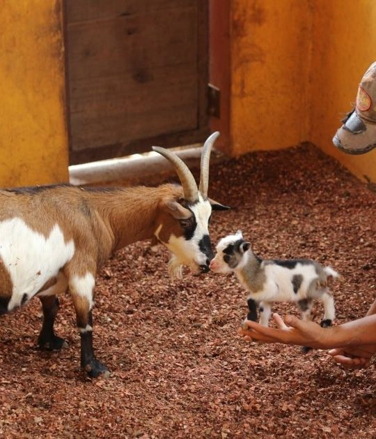 How Cute :) I Want An Baby Mini Goat !!